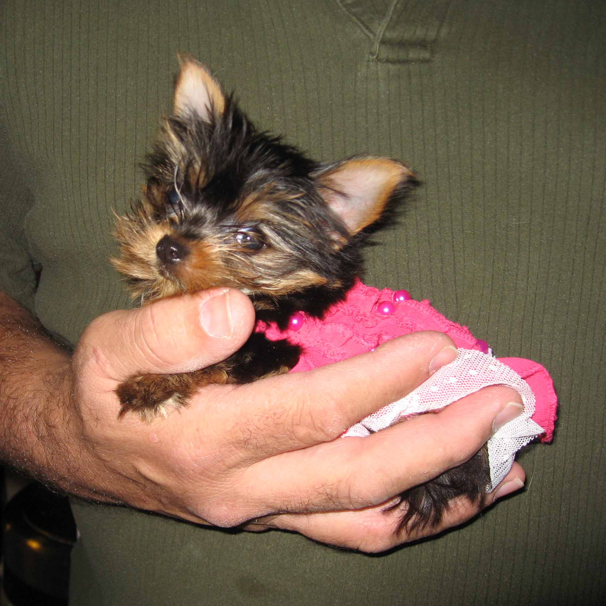 Twila39s yorkies more past puppies i am 3 months and still weight just over a pound nvjuhfo Choice Image